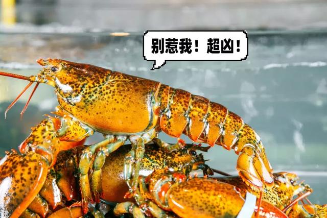 50000只波龙免费吃!天津海鲜自助界大佬放狠招带上会吃的朋友来