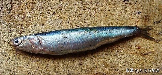 常见鲱形目鱼类简介